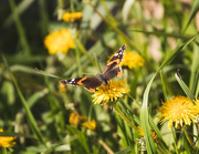 18th May 2020 - red admiral