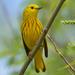 Yellow Warbler (male) by annepann