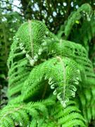 21st May 2020 - Beautiful ferns