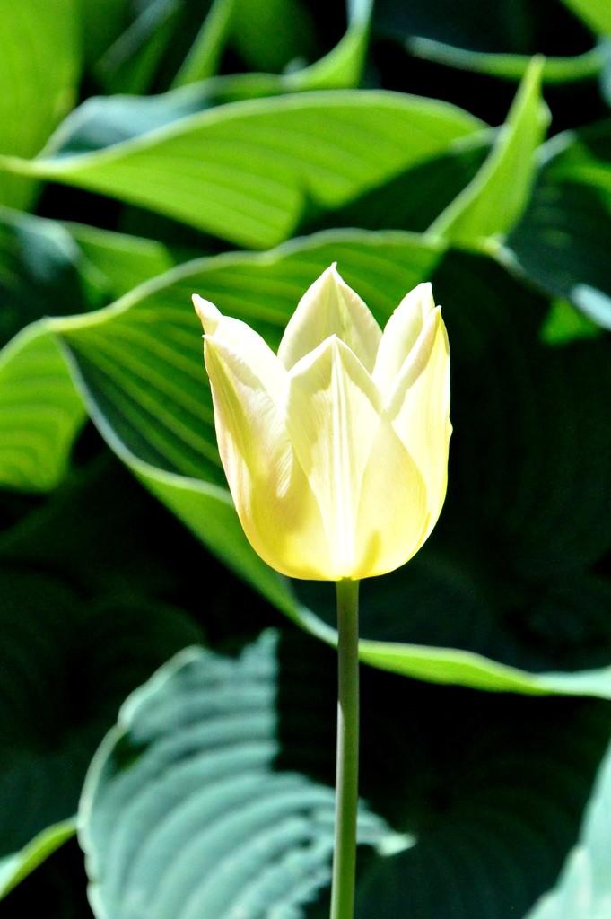 Yellow tulip by sailingmusic