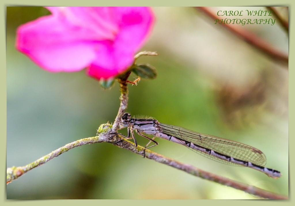 Damselfly and Azalea (best viewed large) by carolmw