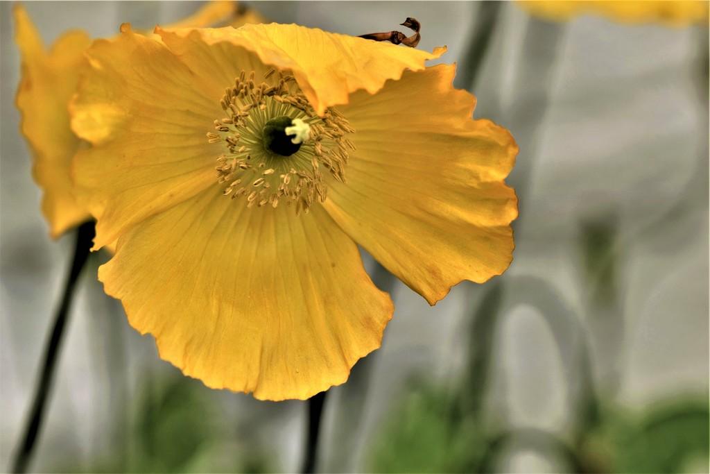 Welsh poppy by christophercox
