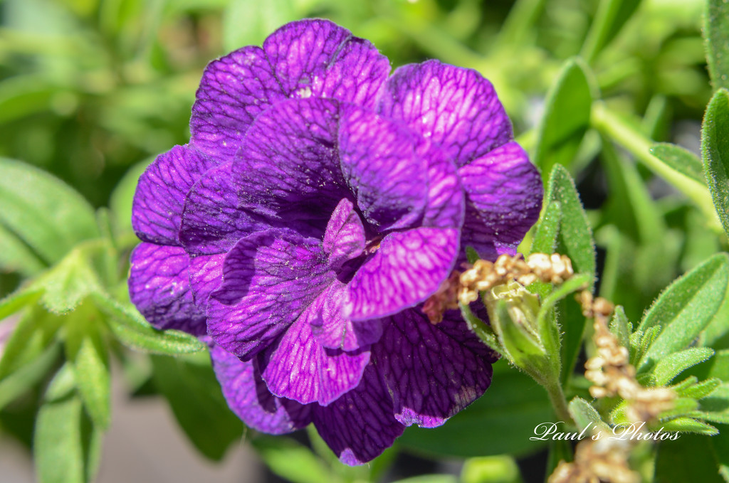 Calibrachoa by pej2