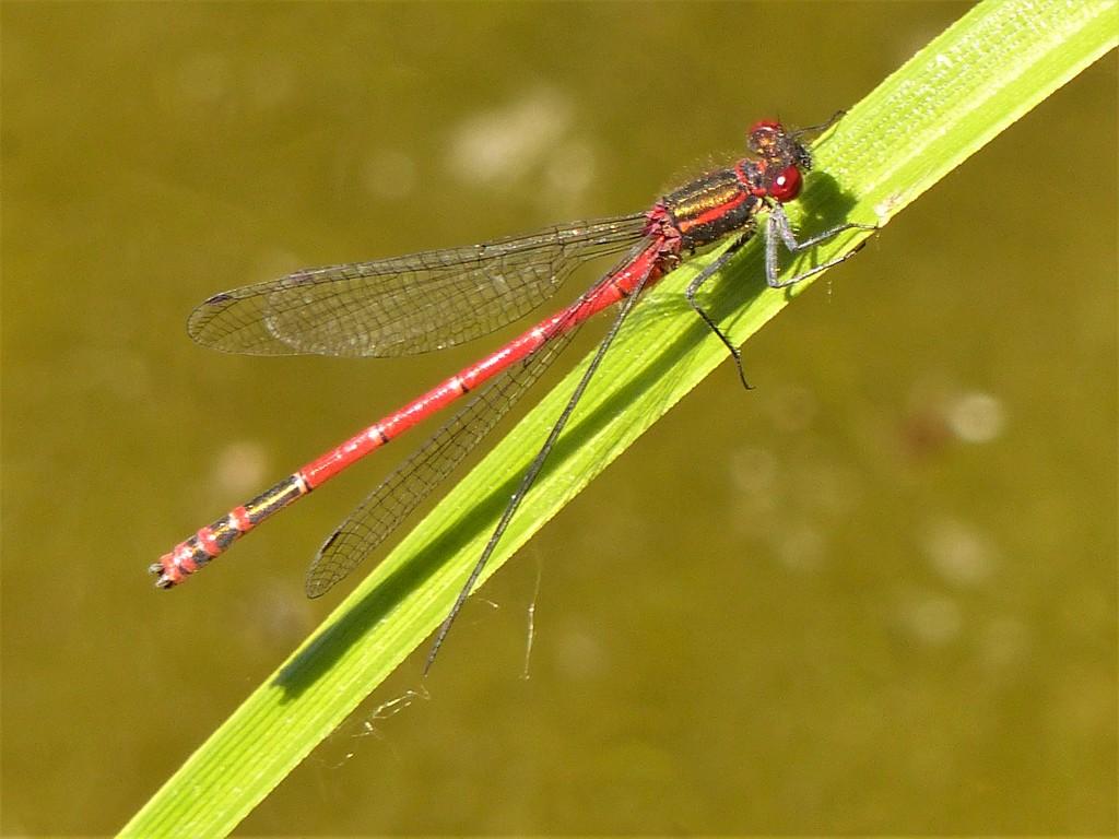 Large Red Damselfly by susiemc