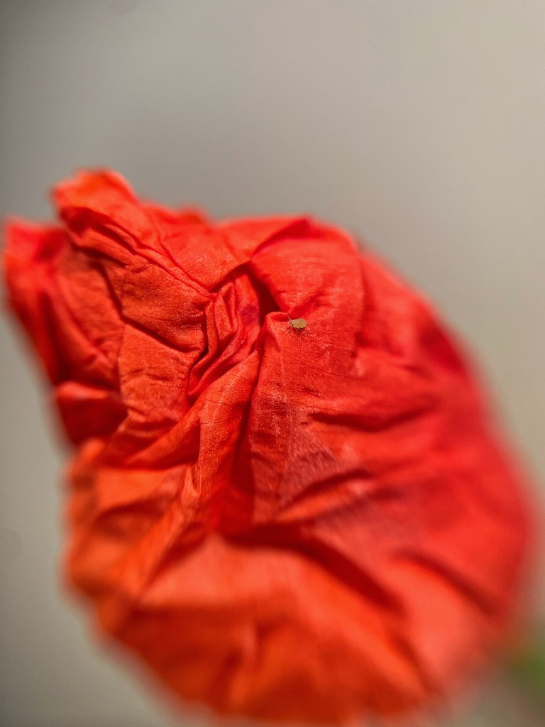 Insect on wrinkled poppy.  by cocobella
