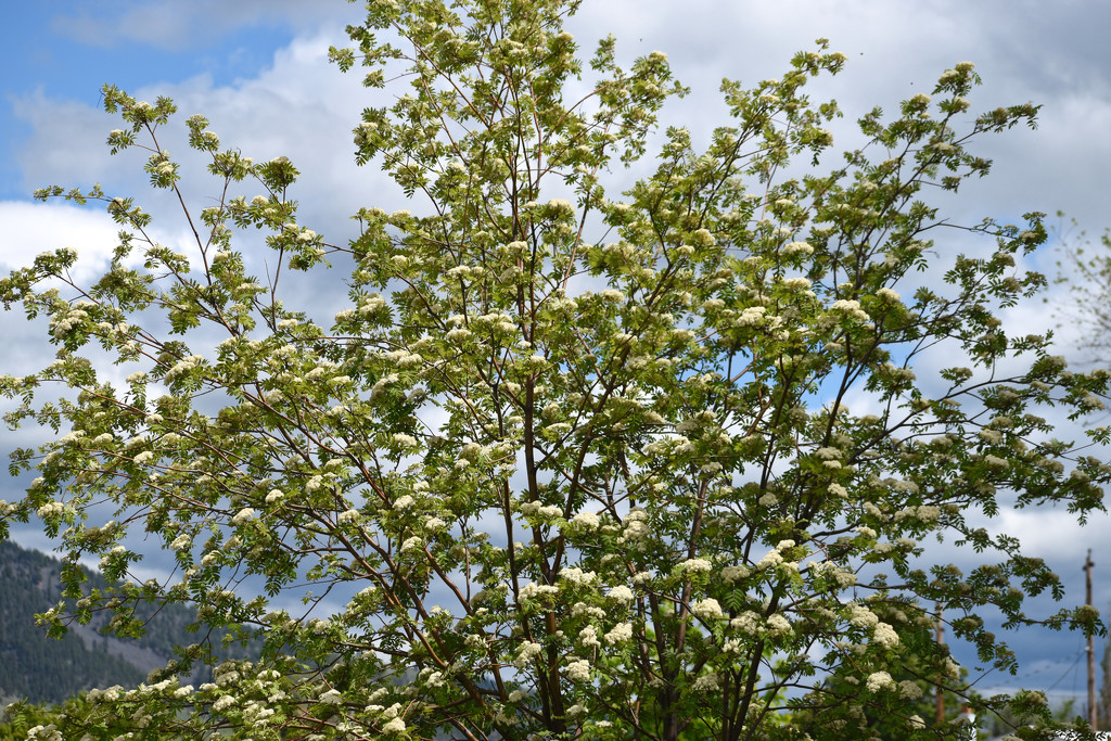 Our Mountain Ash Tree by bjywamer