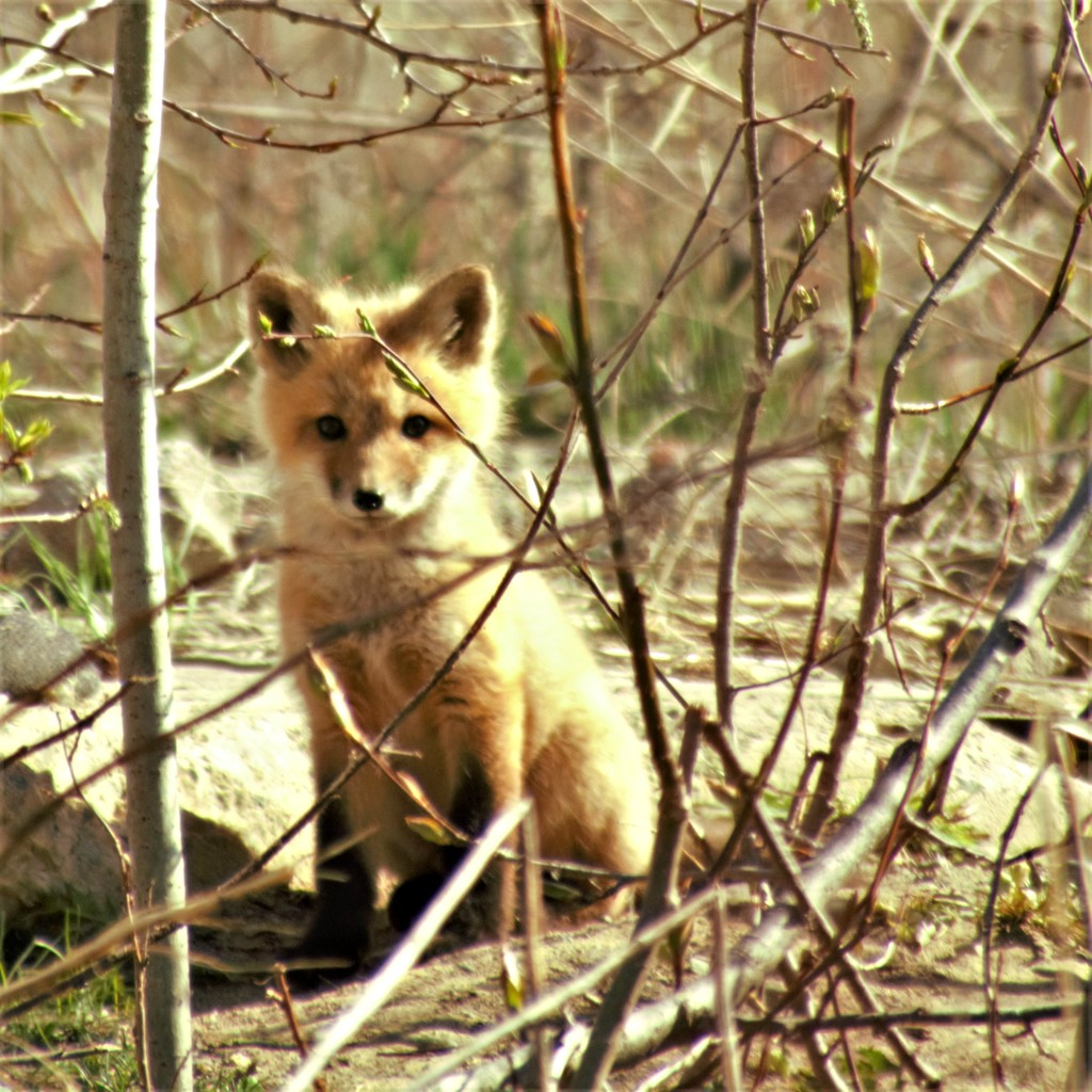 Curious Red Fox Kit by radiogirl