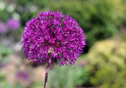 21st May 2020 - Canon : Purple Allium with Helios