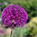 Canon : Purple Allium with Helios
