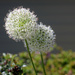 Canon : White Allium with Helios