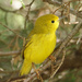Yellow Warbler (female) by annepann