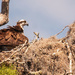 Mother Osprey Shading the Chicks!