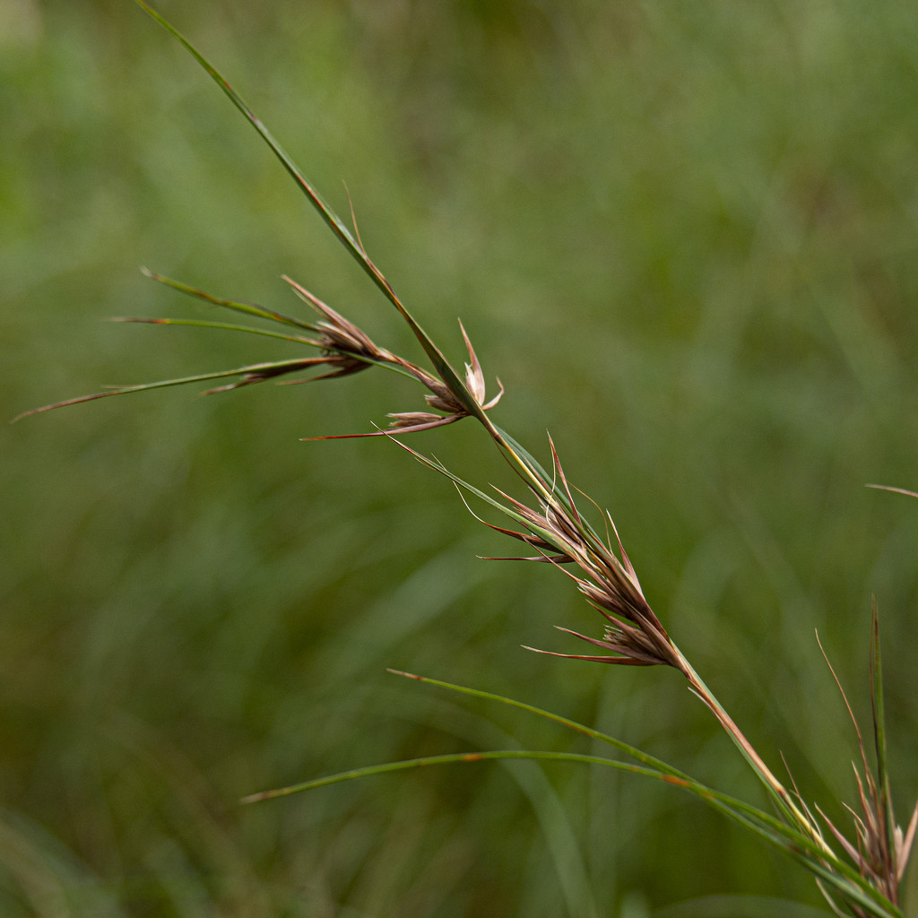 kangaroo grass by koalagardens