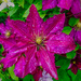 Clematis After The Rain.