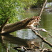 Just a dead log in the water..........