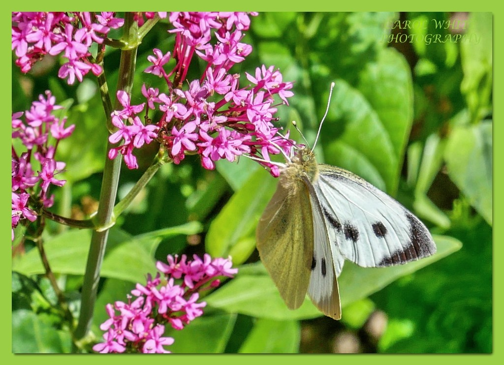 Large White Butterfly by carolmw
