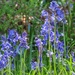Naturalized Bluebells