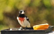 22nd May 2020 - Rose Breasted Grosbeak