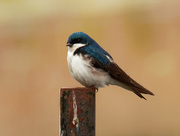 22nd May 2020 - tree swallow bi
