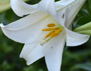 22nd May 2020 - Stop bugging my lily!