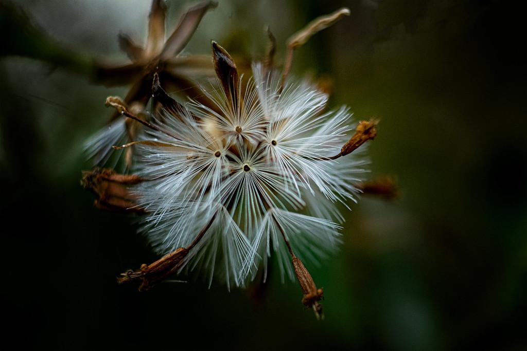Seedhead by maureenpp