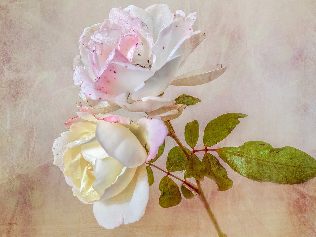 Roses  by ludwigsdiana