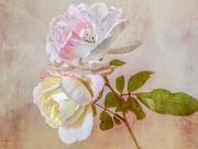 23rd May 2020 - Roses