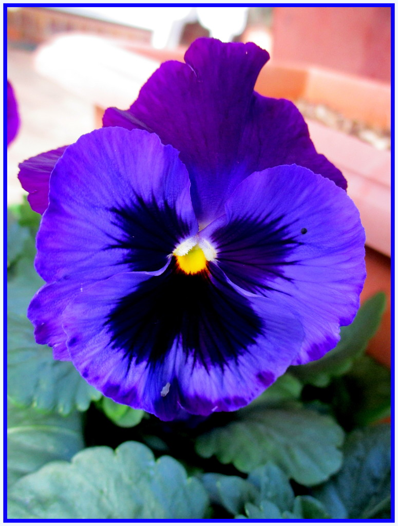 One of my pansies by 777margo