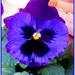 One of my pansies