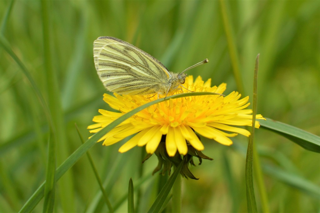 Green-veined white by gemmabrowne