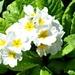 Pretty white primrose.