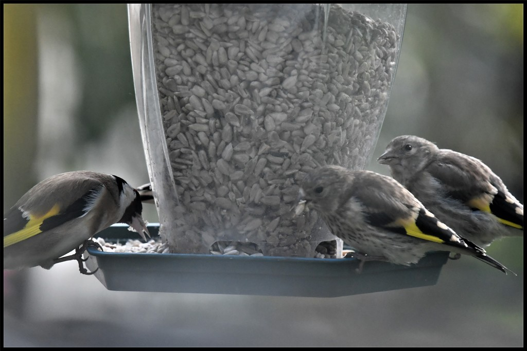 RK3_6489 The goldfinch family by rosiekind