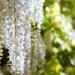 Wisteria  Fabaceae