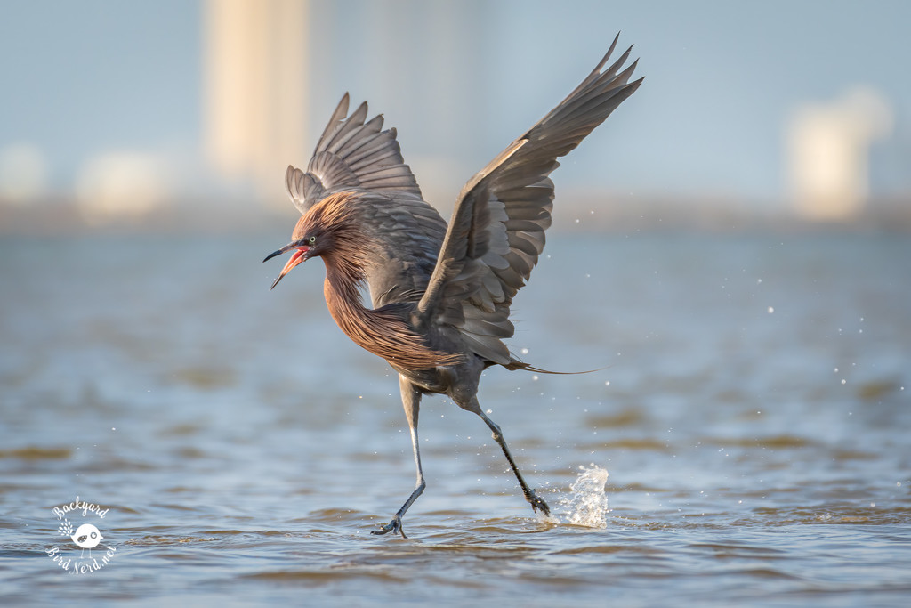 Reddish Egret by backyardbirdnerd