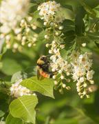 20th May 2020 - chokecheerry bee
