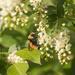 chokecheerry bee