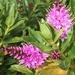 Hebe flowering...