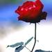 Just a flower ......