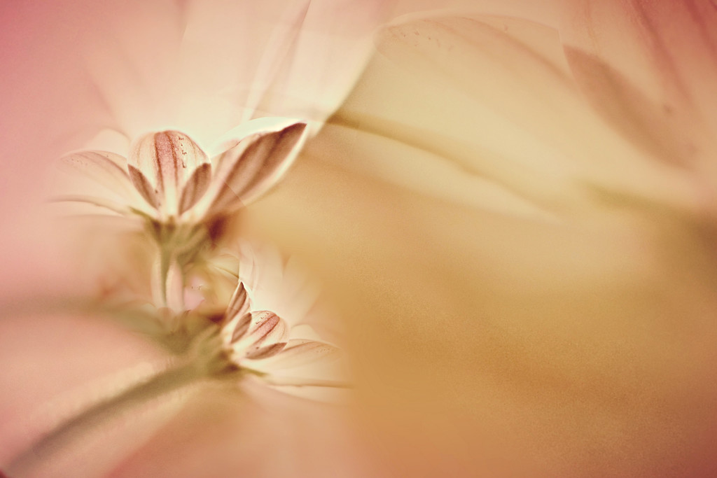 Blushes ........ by ziggy77