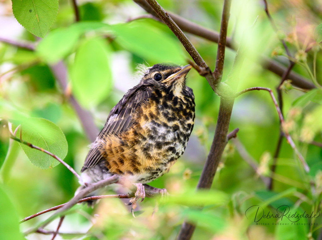 Juvenile Robin by dridsdale