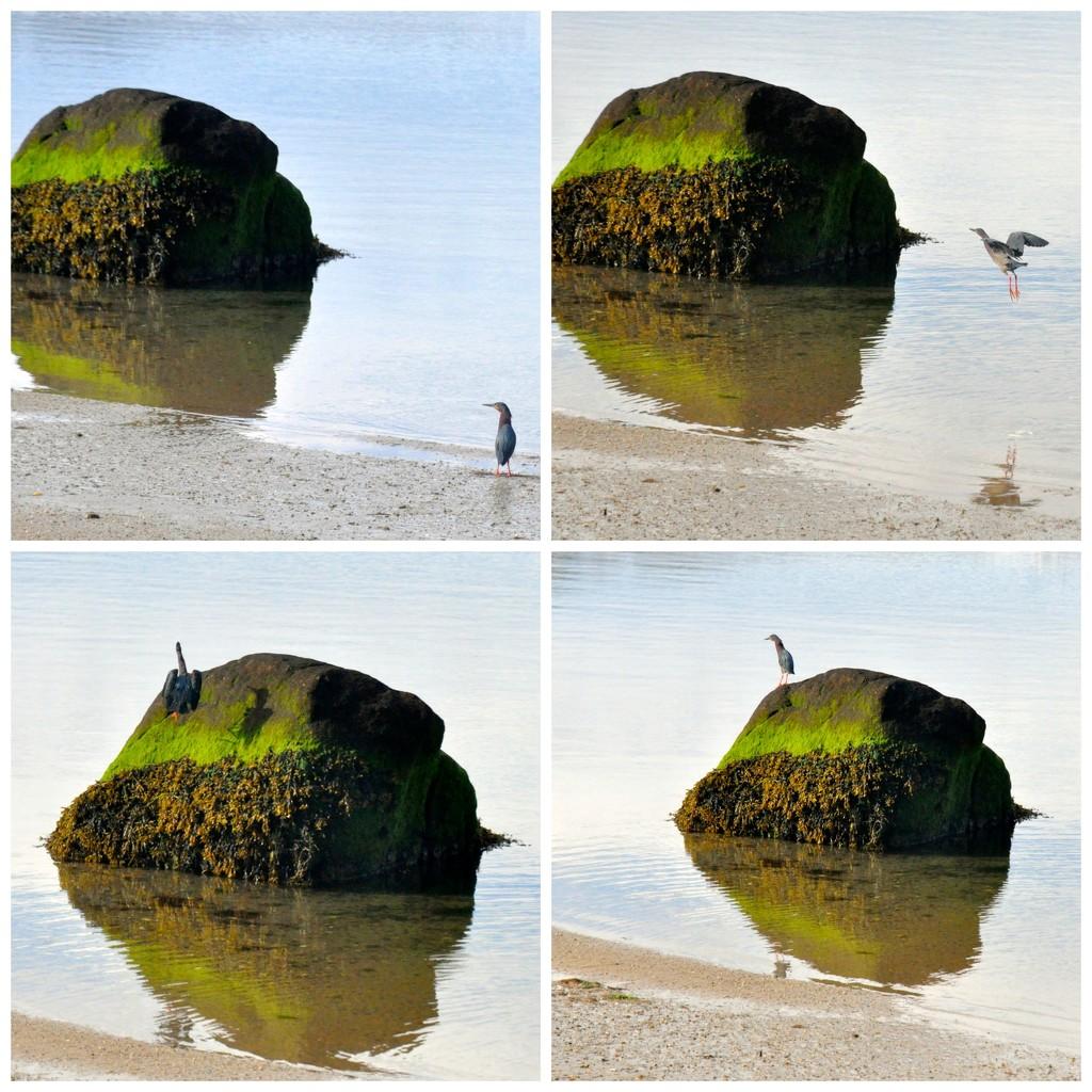 Green heron - Rockin' it !! by sailingmusic
