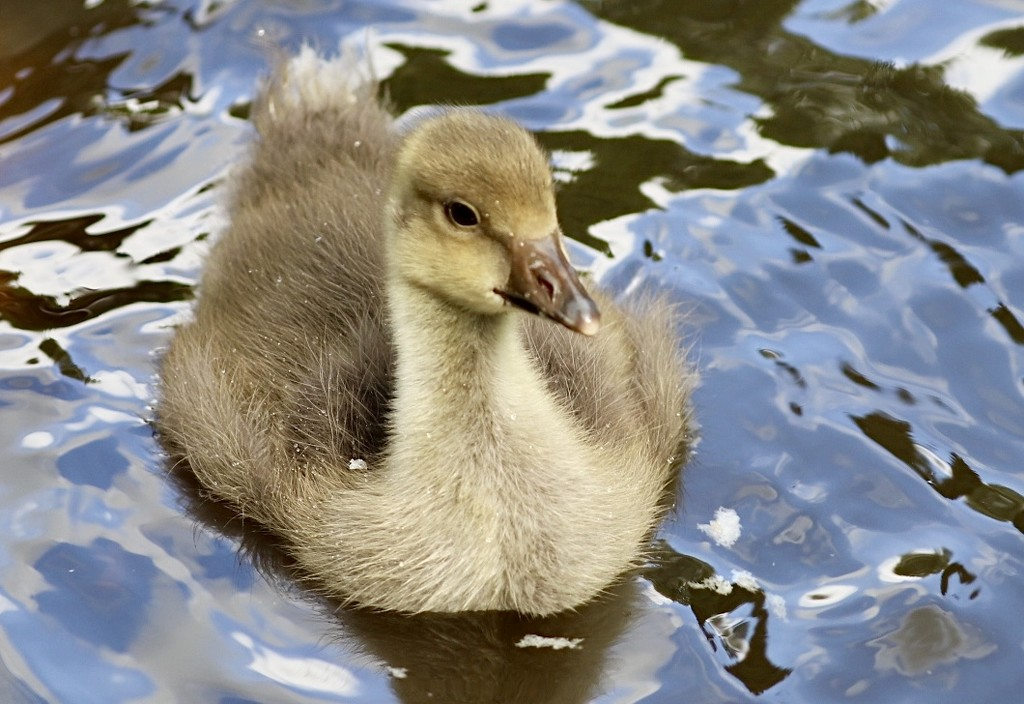 Baby Goose by carole_sandford