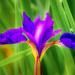 soft iris