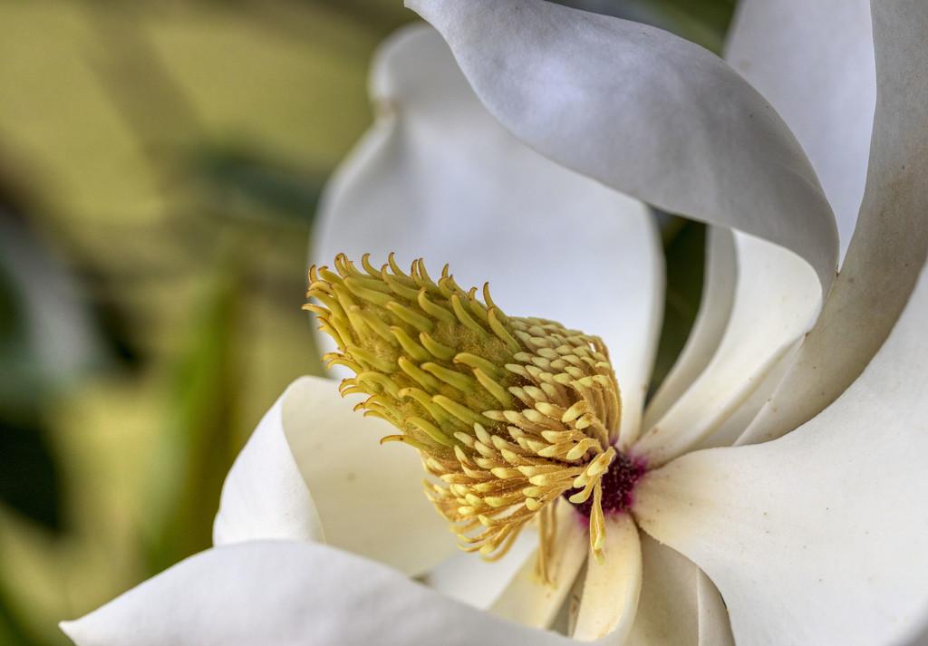 Magnolia by kvphoto