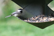 22nd May 2020 - Carolina Chickadee
