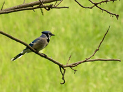 23rd May 2020 - blue jay