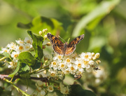 21st May 2020 - pearl crescent