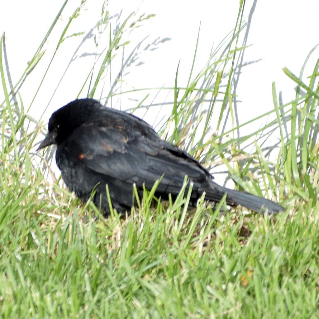 Red-Winged Blackbird? by bjywamer