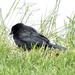Red-Winged Blackbird?