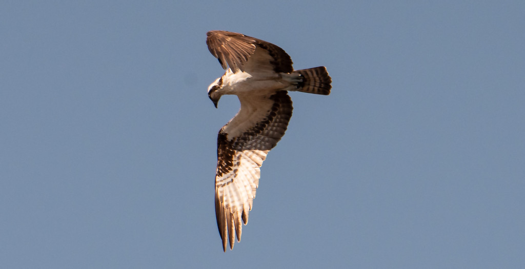 Osprey, About to Drop! by rickster549